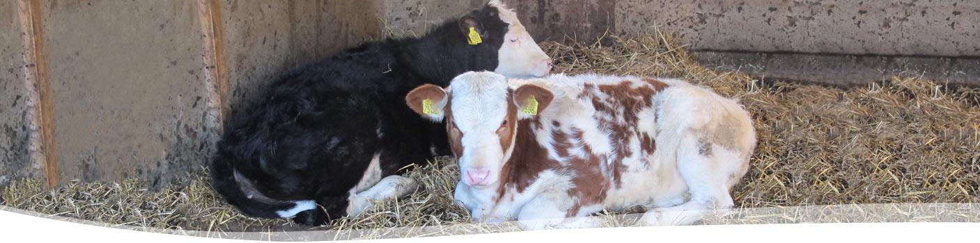 kalfjes-veehouderij Boerderij Ruimzicht