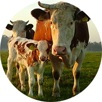 koe-en-kalf2_BD-boerderij Ruimzicht