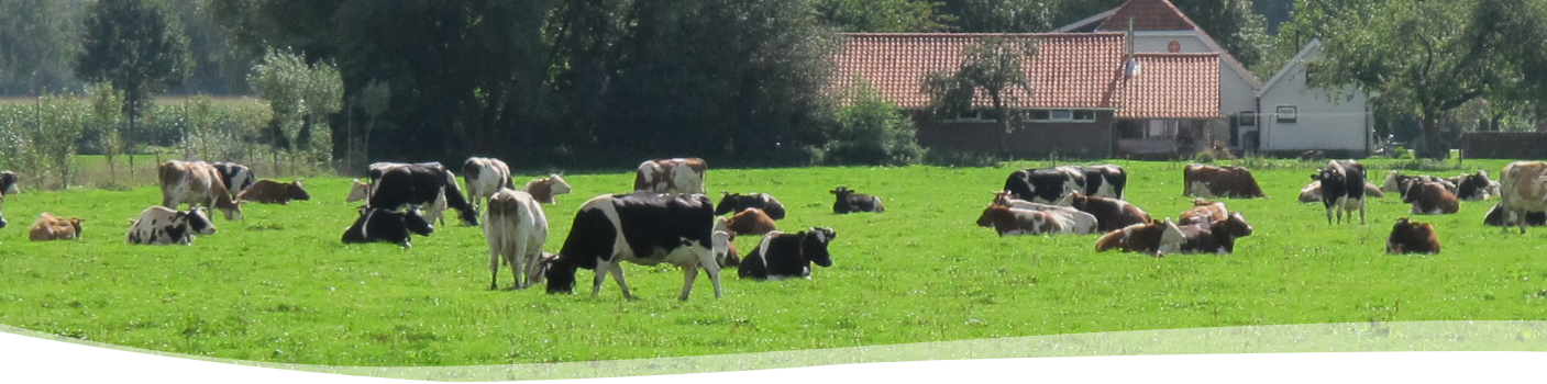 koeien-in-de-wei-BD Boerderij-Ruimzicht