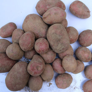 aardappels_Demeter_BD Boerderij Ruimzicht